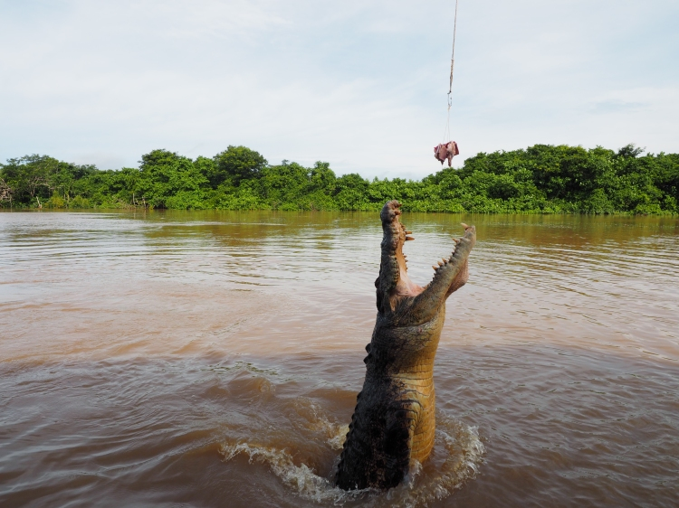 saltwater-crocodile-darwin-northern-territory