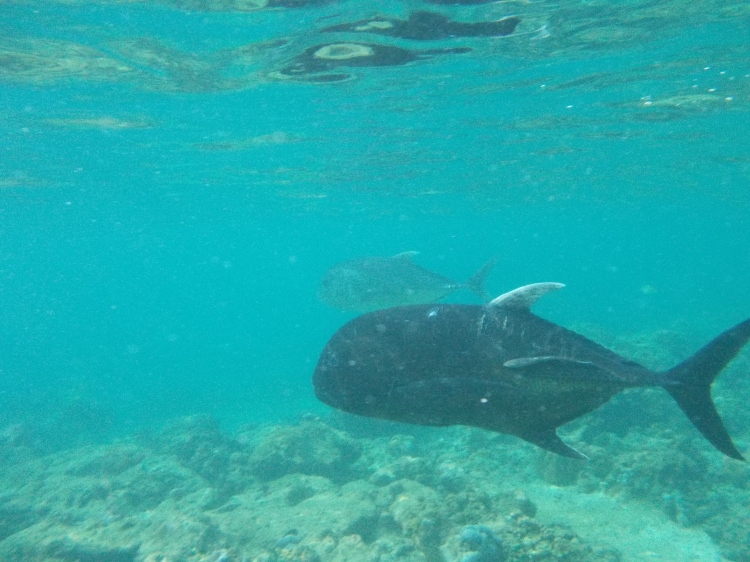 miniloc-el-nido-jackfish