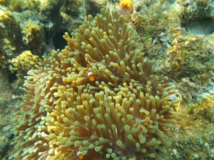 clownfish-miniloc-el-nido