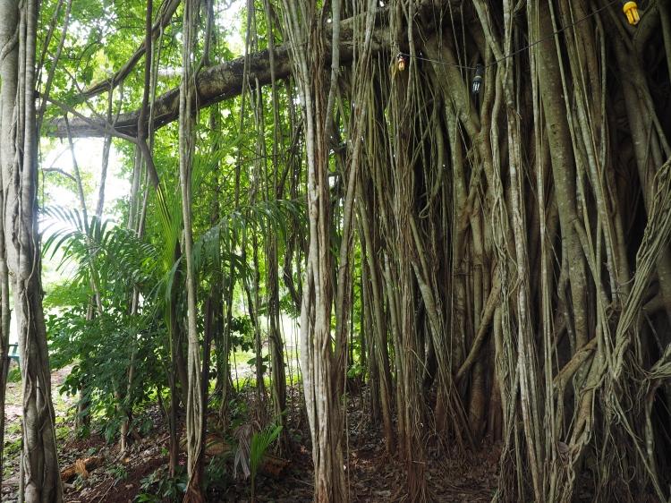 banyan-tree-litchfield-batchelor