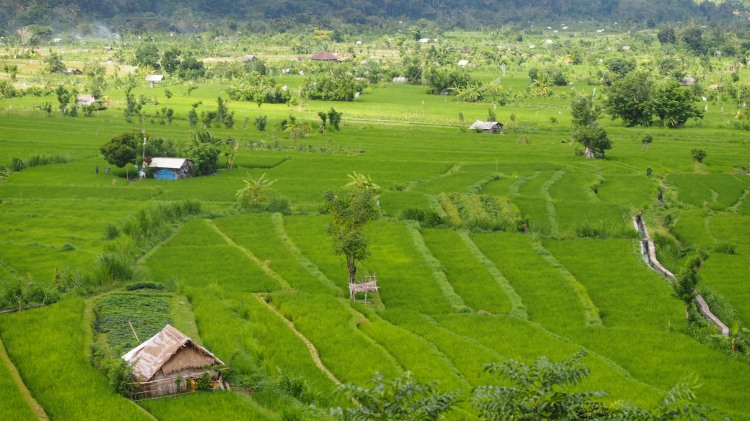 east-bali-rice-field