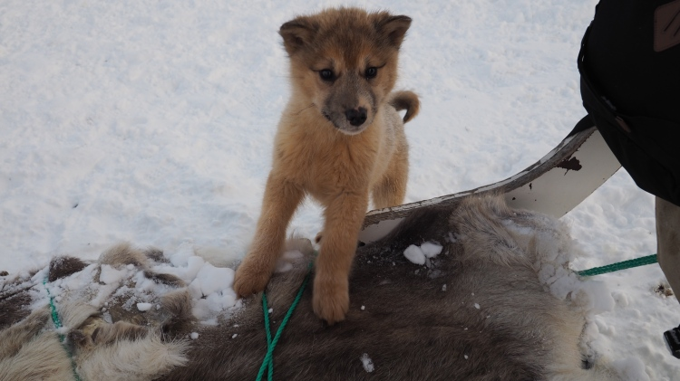 sisimiut-greenland-dog-sledding-puppy