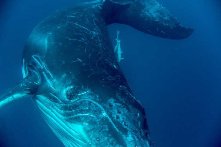 humpback-whale-snorkel-haapai-ha'apai-tonga-swim-swimming-with-travel-blog-solo-backpacking-sea-change-eco-lodge