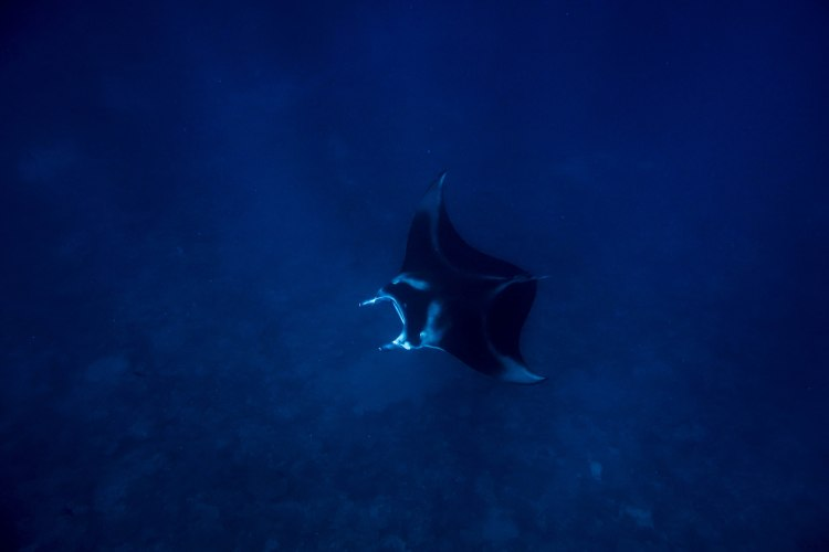 humpback-whale-snorkel-haapai-ha'apai-tonga-swim-swimming-with-travel-blog-solo-backpacking-sea-change-eco-lodge-manta-ray