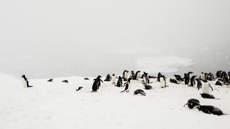 cuverville-antarctica-travel-blog-solo-oceanwide-expeditions-ortelius-seventh-continent-gentoo-penguins